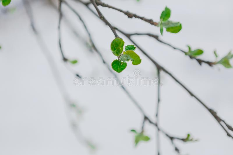 Green leaves in the spring, the snow melts. First green leaves burst. Young currant branch against white melting snow background. Nature awakening and spring stock photography