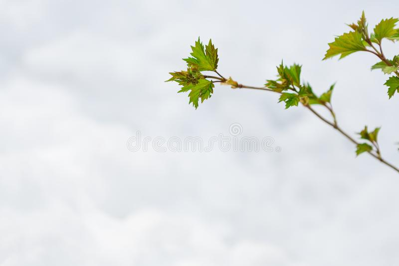 Green leaves in the spring, the snow melts. First green leaves burst. Young currant branch against white melting snow background. Nature awakening and spring royalty free stock photography