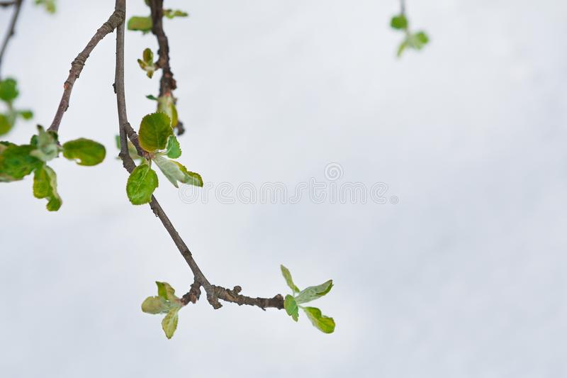 Green leaves in the spring, the snow melts. First green leaves burst. Young currant branch against white melting snow background. Nature awakening and spring stock images