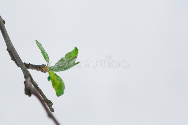 Green leaves in the spring, the snow melts. First green leaves burst. Young currant branch against white melting snow background. Nature awakening and spring royalty free stock photos