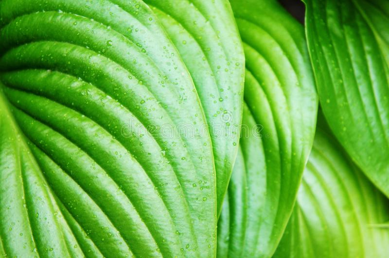 Green leaves after summer rain, large green leaves with veins, tropical. Tropical Green leaves after summer rain, large green leaves with veins royalty free stock photo
