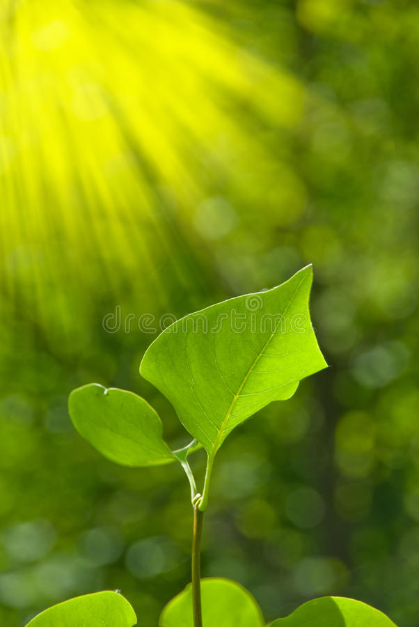 Green leaves with sun ray stock image