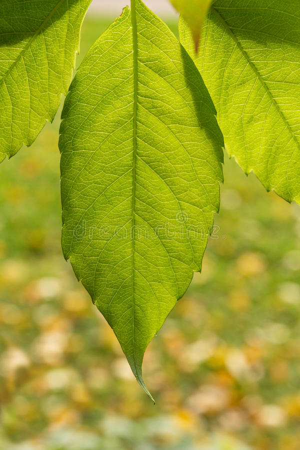 Green leaves in sunlight. With leaves in defocus royalty free stock image