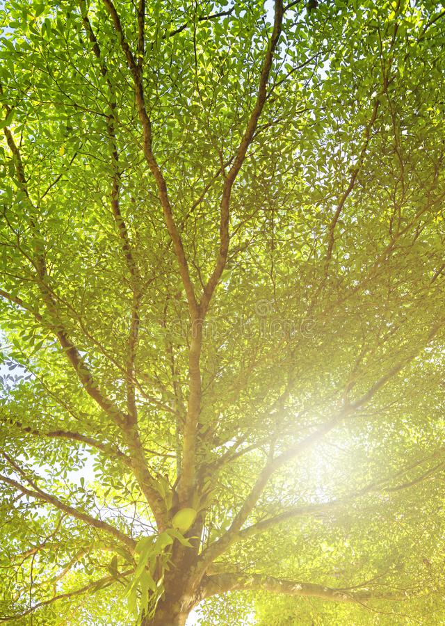 Green leaves of Terminalia ivorensis tree shot form under to top with sky stock photo