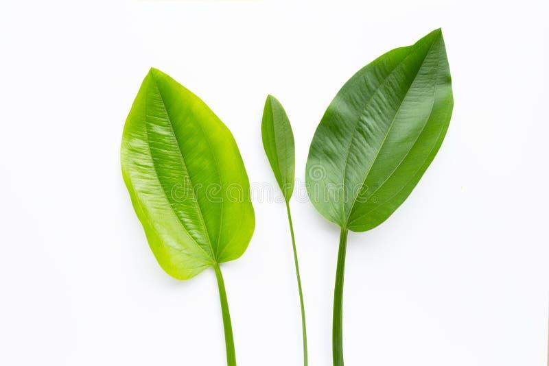 Green leaves, Texas mud baby, Echinodorus cordifolius leaves isolated on white. Background royalty free stock photo