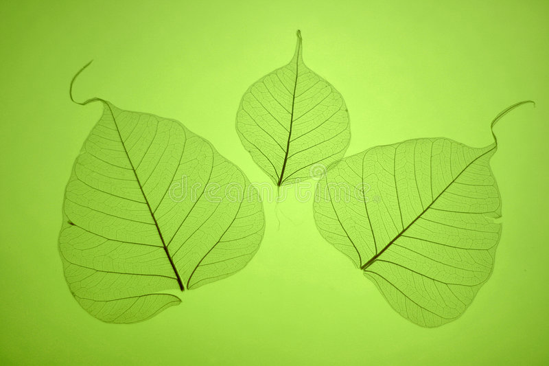 Green leaves texture royalty free stock images