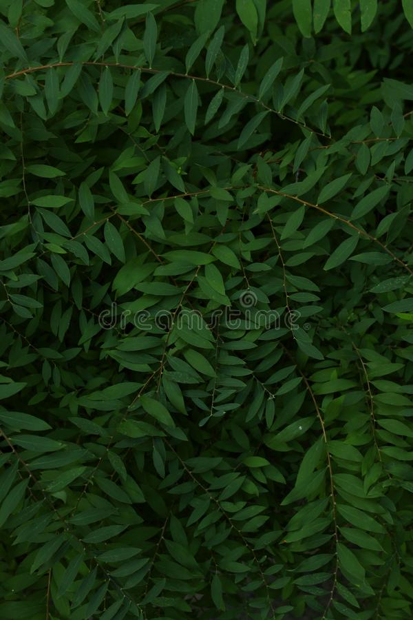 Green leaves texture background, cropped shot. Abstract nature background with a lot of copy space for text. royalty free stock photo