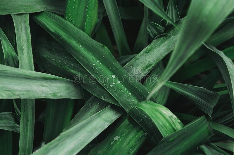 Green leaves texture background, Natural background and wallpaper. Drops of rain water on green leaf. Top view. Copy space. Can royalty free stock photography