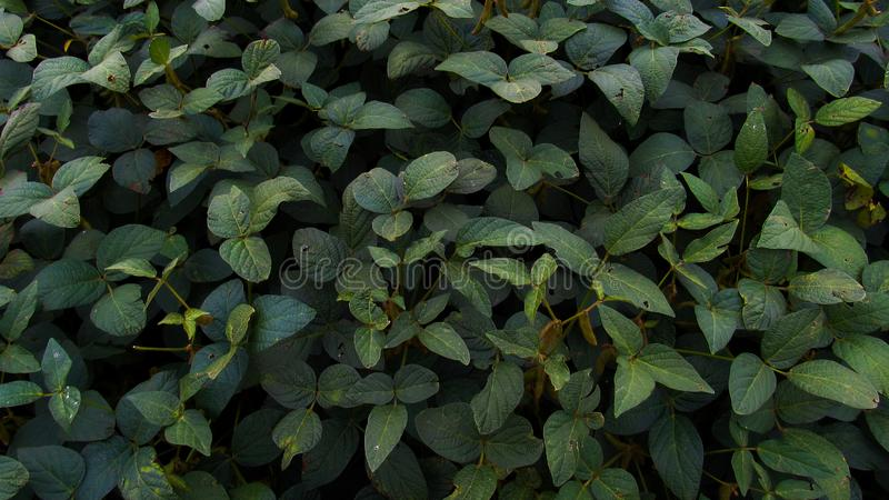 Green leaves texture background. Natural background and wallpaper stock image