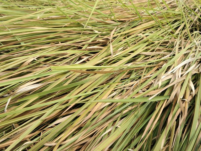 Green leaves of Thatch grass. In tropical summer field royalty free stock image