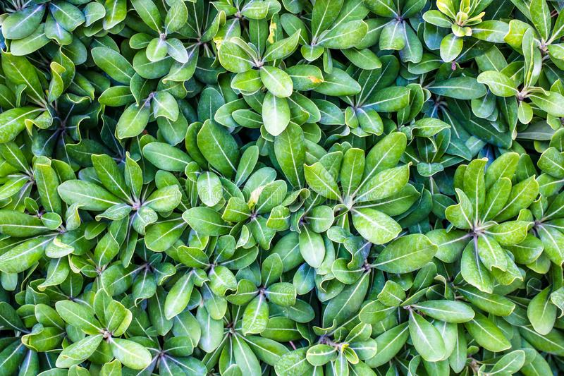Green leaves, tiny green leaves, natural green background stock photos