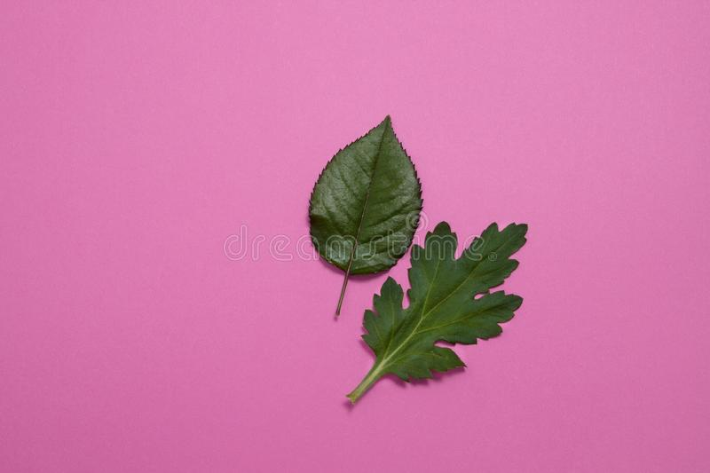 Green leaves top view on pink background. Close up nature leaf isolated with copy space. Top view and summer concept. Flat lay stock images