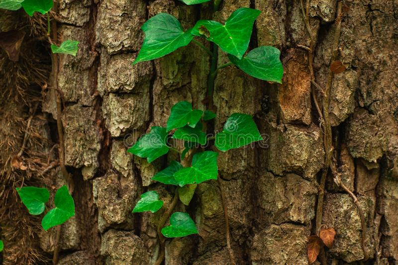 Green leaves on the tree. Backdrops, veins, designs, skies, textures, wallpapers, patterns, seasons, greens, lines, colors, lights, parks, backgrounds, news royalty free stock photography
