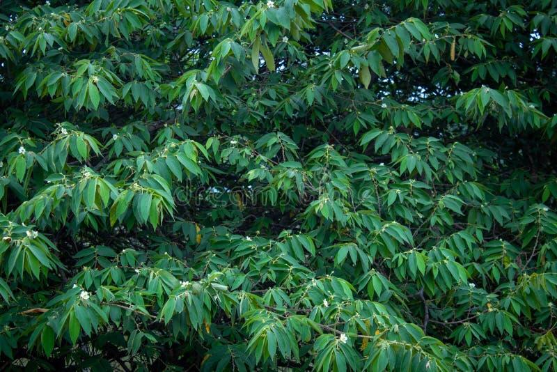 Green leaves in a tree along Masinagudi, Mudumalai National Park, Tamil Nadu - Karnataka State border, India.  royalty free stock images