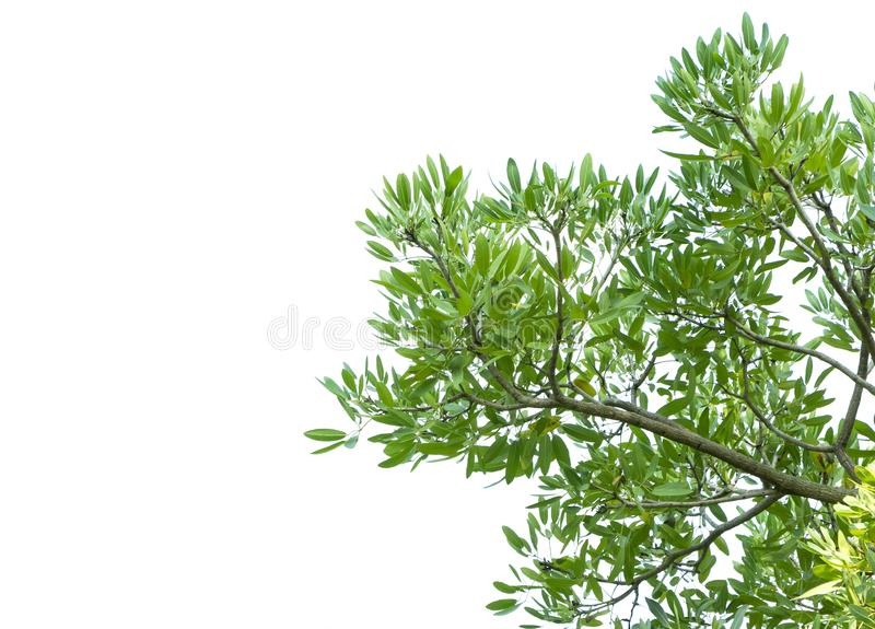 Green leaves and tree branch isolated on a white background stock image