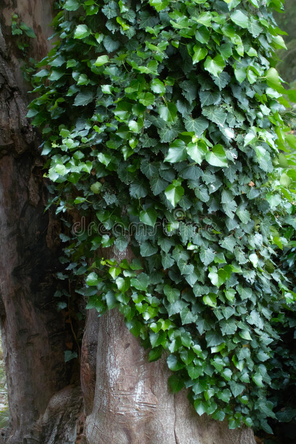Green leaves on a tree trunk stock photography