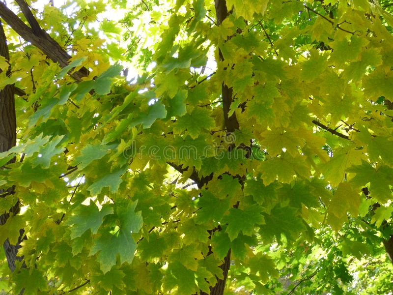 Autumn has arrived. The green leaves of the trees begin to turn yellow, the arrival of autumn is imminent stock image