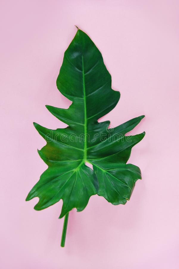 Green leaves tropical plant jungle Philodendron leaf on pink background. Green leaves tropical plant jungle with Philodendron leaf on pink background stock photos