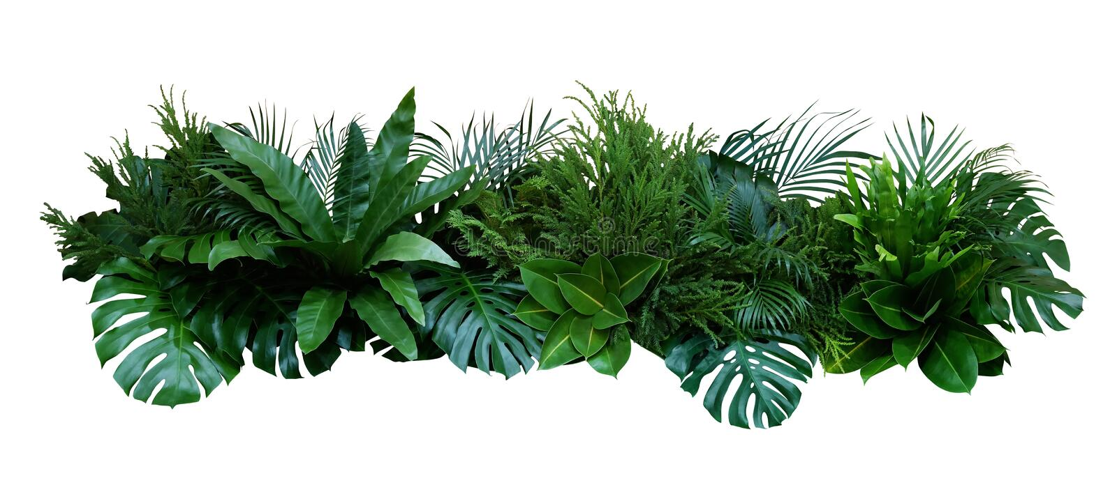 Green leaves of tropical plants bush Monstera, palm, fern, rubber plant, pine, birds nest fern floral arrangement indoors garden. Nature backdrop isolated on royalty free stock photo
