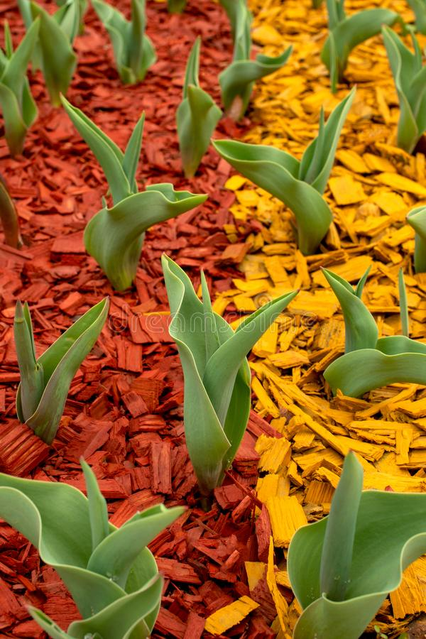 Green leaves of tulips emerged from the ground on a flower bed in a park in early spring.  The ground is covered with colored stock photography
