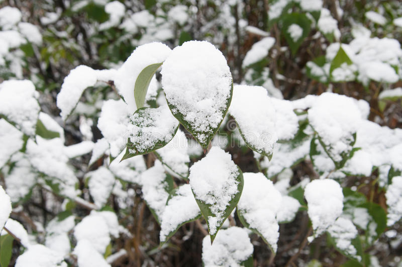 Green leaves under snow royalty free stock photos
