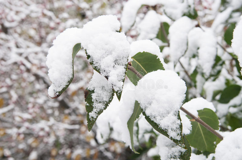 Green leaves under snow royalty free stock images