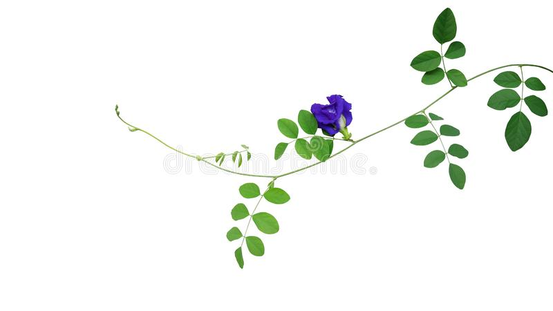 Green leaves vine with blue flower of Asian pigeonwings or butterfly pea Clitoria ternatea the medicinal creeper flowering plant stock image