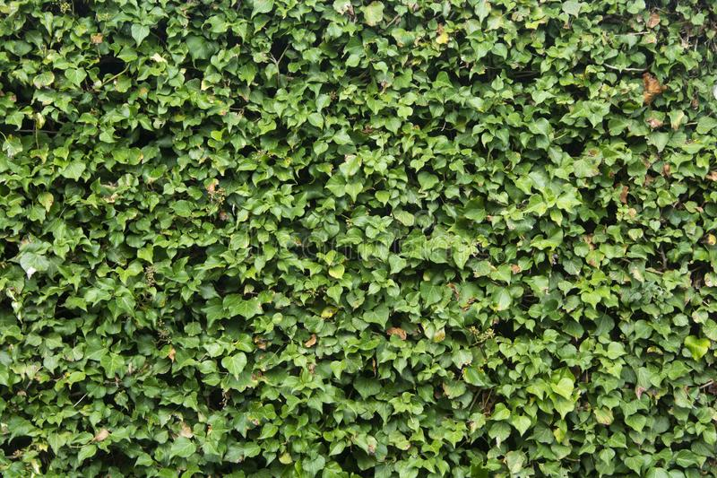Green leaves wall background, green bush texture. Walpaper, summer, grunge, spa, design, abstract, floral, tree, frame, retro, pattern, nature, leaf, art royalty free stock images