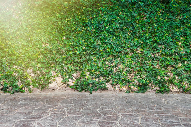 Green leaves wall and brick floor and Sun light stock photos