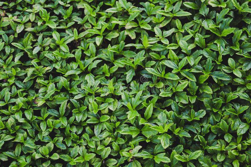 Green leaves wall  texture background royalty free stock images