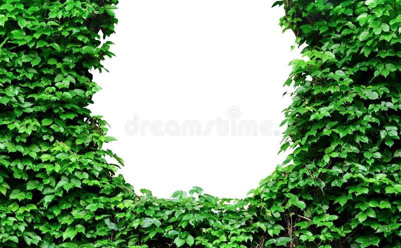 Green leaves wall texture, natural green leaf covered concrete wall background, climbing plant on the cement wall royalty free stock image