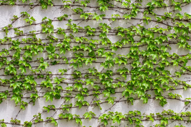 Green leaves.Green leaves wall texture. Summer background royalty free stock photography