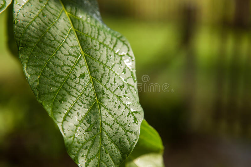 Green leaves of walnut stock photo