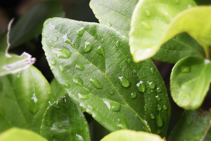Green Leaves With Water Droplets stock photo