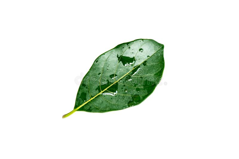 Green leaves with water droplets isolated on white  background. Green leaves with water droplets isolated on a white  background stock photos