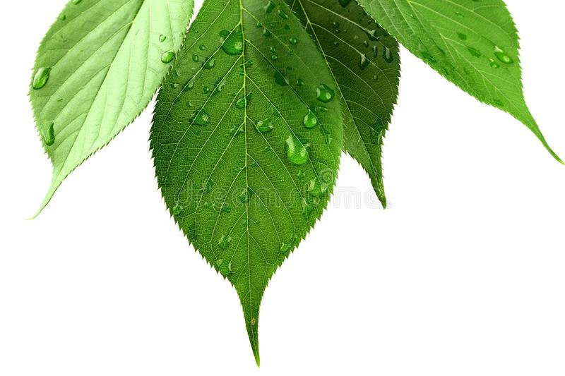 Green leaves with water droplets on white royalty free stock photos