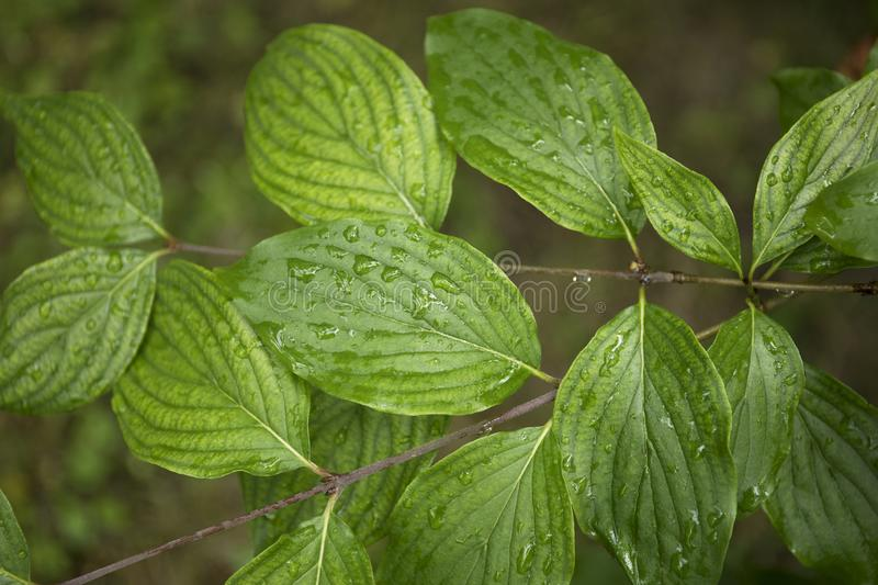 Green leaves with water drops, autumn weather, nature background. Rain, raindrop, plant, wet, dew, macro, summer, color, environment, fresh, freshness, growth stock photography