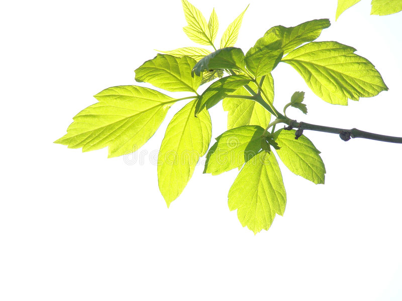 Green leaves, white background