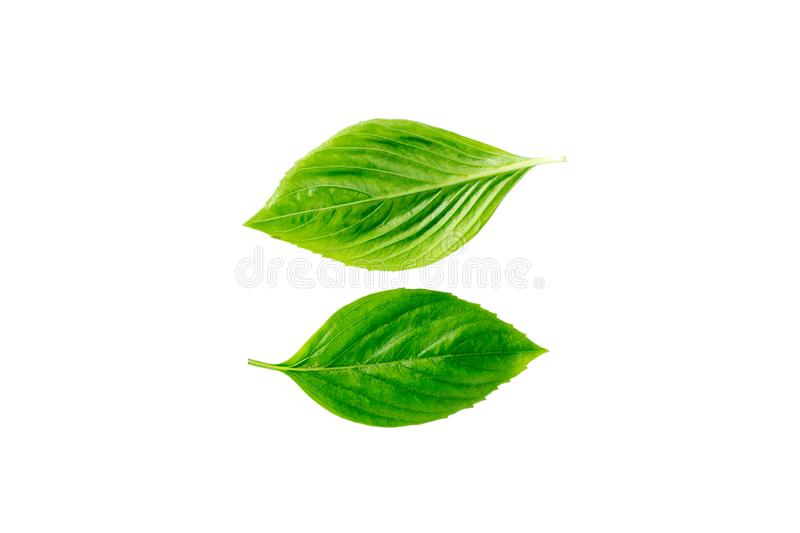 Green leaves on white backgrounds stock photography