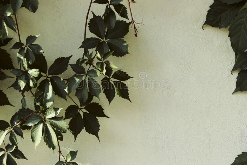 Green leaves on the white wall. Abstract nature background with a lot of copy space for text. Wallpaper background royalty free stock photos