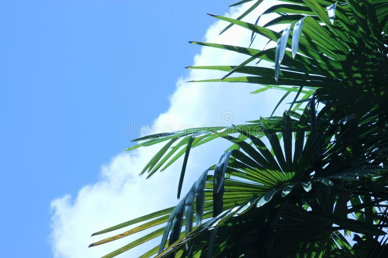 Leaves of a Windmill palm tree against a blue sky with a large cloud. Green leaves of a Windmill Palm Tree against a blue sky with a large cloud stock photo