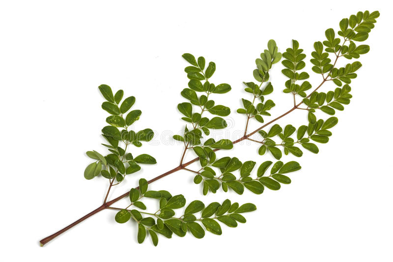 Green Leaves and Yellow Speckles of Moringa Tree 5. Studio shot of sprig of green leaves and yellow speckles of the Moringa tree on white royalty free stock image