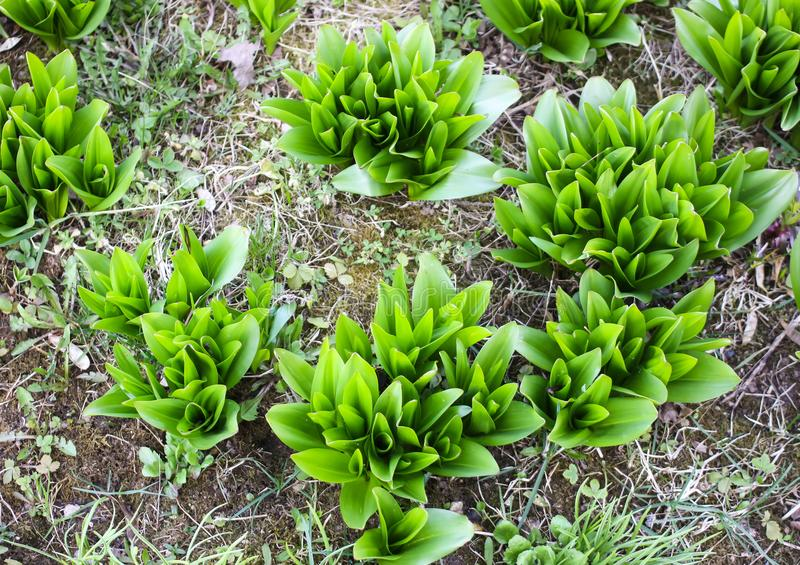Green leaves of young daffodil or narcissus royalty free stock images