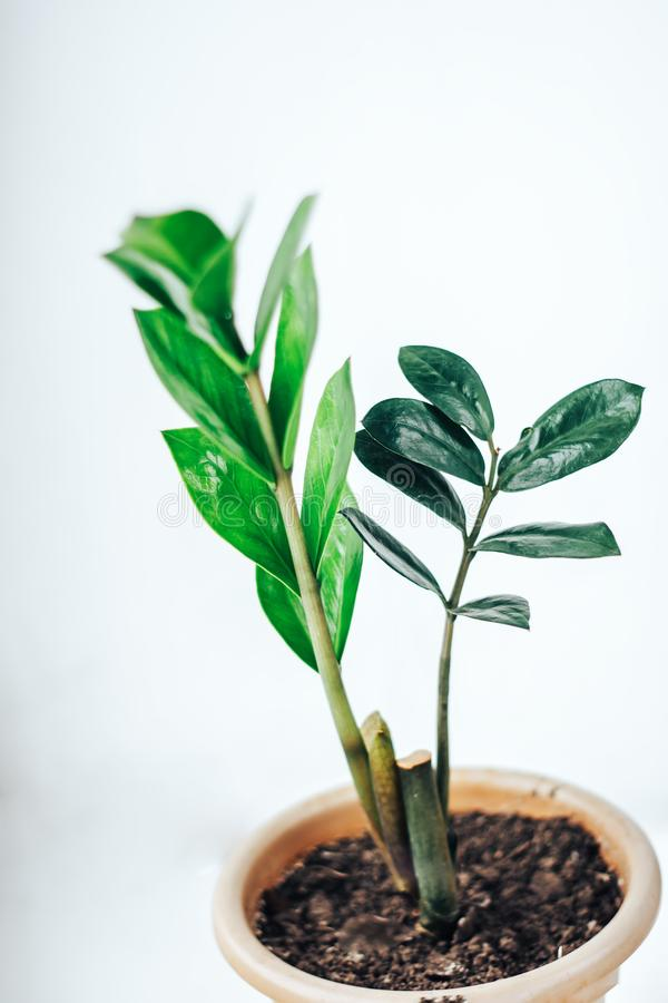 Indoor plant Zamioculcas stock image Image of houseplant 108104517