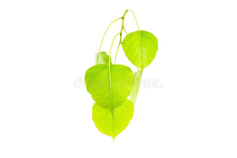 Green leavesPho leaf, bo leaf,bothi leafisolated on white back. Ground royalty free stock photo