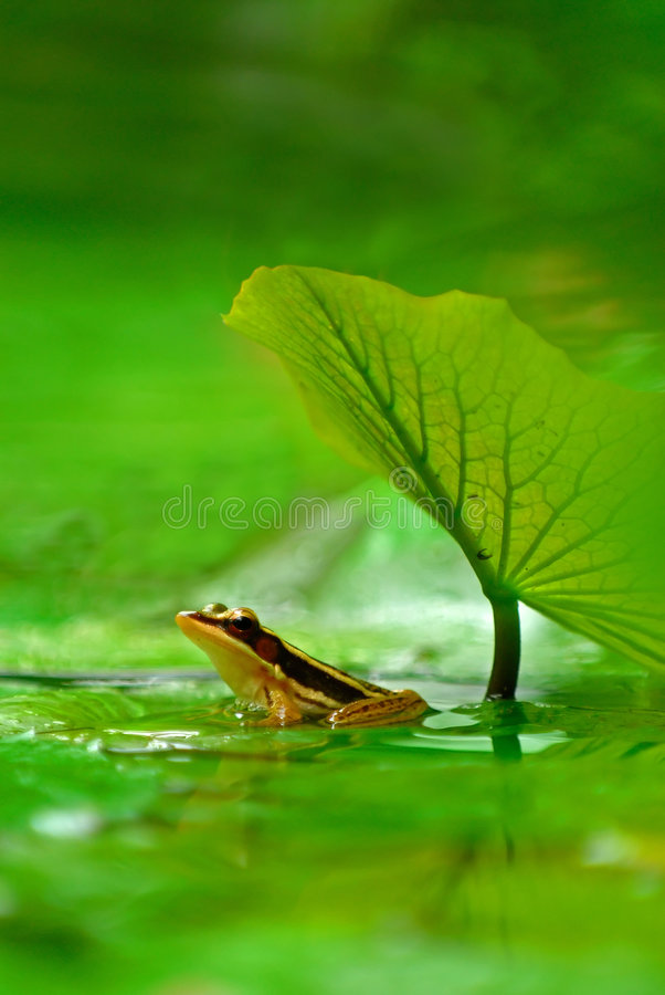 Green legged frog stock photo