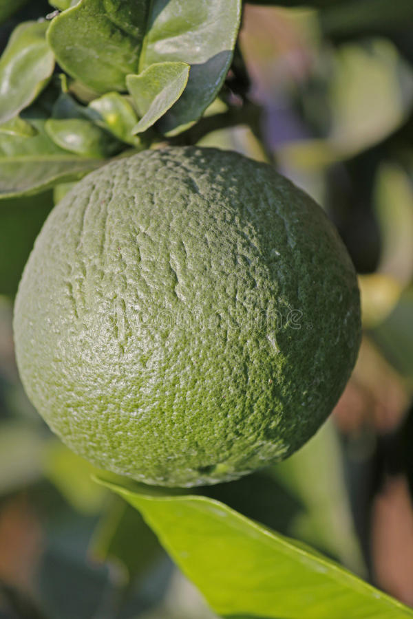 Green lemon. Limon, Citrus on branch, Miao, Arunachal Pradesh, India royalty free stock photo