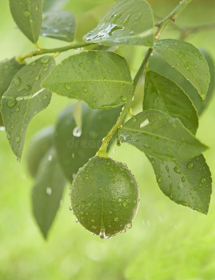 Free Green Lemon Hanging On A Branc Royalty Free Stock Images - 3098189