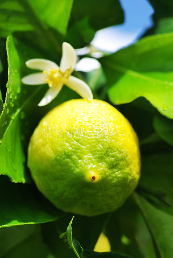 Download Green lemon on tree. stock photo. Image of close, diet - 23309596