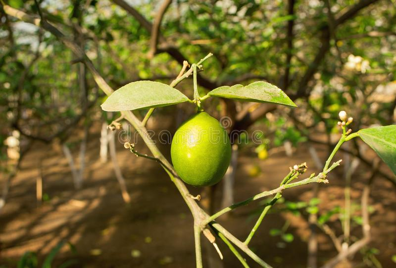 Green lemon on a tree in a garden stock image